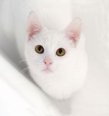 Характеристики пород кошек