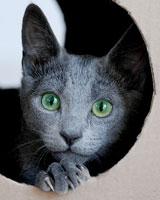 Виды короткошерстных пород кошек описание и характеристики
