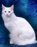 Породы кошек с фотографиями названиями Кошки фото
