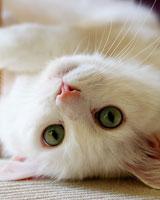 Невская маскарадная кошка  сибирский колорпойнт фото