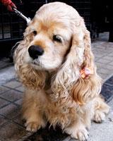 фото собаки кавалер кинг чарльз спаниель